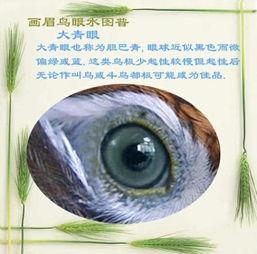 画眉斗鸟眼水图