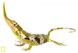 横穿马路的蜥蜴-南美现 匹诺曹 蜥蜴 超长鼻子此前误认已灭绝
