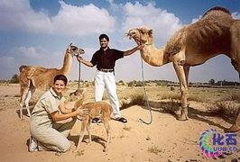 ...因为两种动物的体型差异过大,大羊驼比骆驼要小得多,通过自然手...