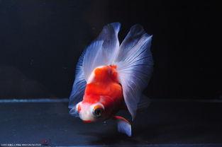 墨龙鱼-龙睛蝶尾_金鱼世界吧_百度贴吧   蝶尾金鱼是在龙睛金鱼的基础的一   ...