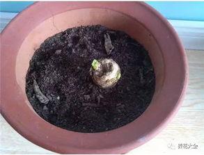 花核湿揉捏-(作者:5651851 来源:君子兰吧)   6、将花盆放在阴凉通风处,盆...