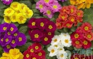 4月30日生日花语 西洋樱草