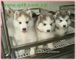 哈士奇名字的由来,是源自其独特的嘶哑叫声,有着比大多数犬种都...