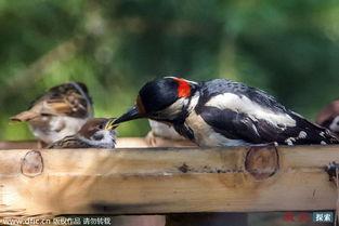 ...示了一只大方的啄木鸟妈妈把食物分给麻雀宝宝的有爱一幕.俄罗斯...