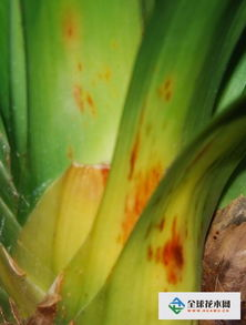 君子兰叶子长黄斑