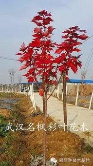 七枫花32部合集-12月16日,在阳光的照耀下,红冠红枫异常的靓丽.如阳似火,在这个...