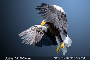在空中振翅飞翔的老鹰摄影高清图片
