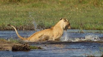 母狮为护幼狮过河与鳄鱼博斗