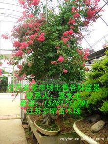 小型树桩盆景 出售盆景 树桩 日本红枫盆景 小型树桩盆景批发 阿里巴巴