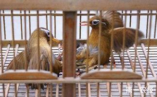 画眉斗鸟-怎么判断一只画眉鸟是 唱鸟 还是 斗鸟 呢