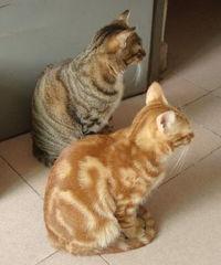 谜男方法猫绳-俩猫玩绳记  家有俩猫,大猫菲菲,体形臃肿,性格泼辣,作威作福惯...