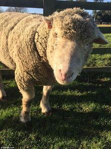 人与羊配种-神迹 从未交配过的白绵羊竟生下一对小黑羊