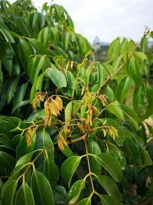 关于春季荔枝龙眼生产管理的指导意见