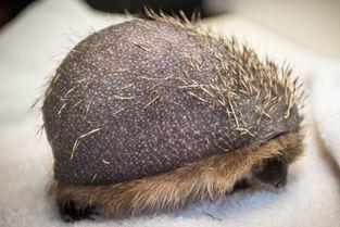 英国刺猬患秃头症 身上刺已经所剩无几无法保护自己