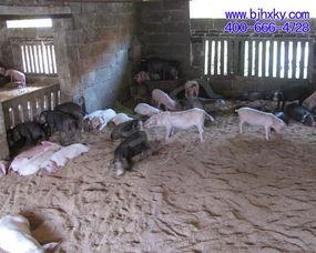 春季养猪发酵床的维护很重要