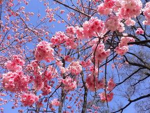 花语恋之樱花
