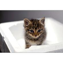 2只超可爱的虎斑小奶猫求领养 军猫班长