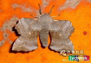 虫来的修界-昆虫界的公主 最酷最美的飞蛾