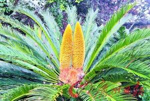 就是并蒂花.据介绍,当地民间普遍认为铁树开花寓意着吉祥与瑞兆,...