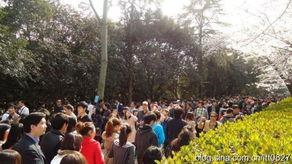 武大樱花-盛放的樱花拥挤的人群 盘点各地樱花节