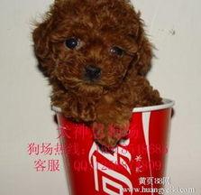 ...州深圳哪里有卖贵宾犬 标准贵宾多少钱】-广州黄页88网