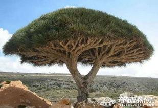 花与血的旅途-龙血树属百合科植物,全世界有150多种,中国南方的热带雨林中有5种...