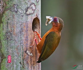 白眉棕啄木鸟和黄腹l莺 弄岗拍鸟系列