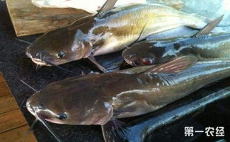 鲶鱼要怎么养 鲶鱼的养殖技术有哪些