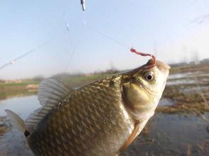 紫枯鱼人-继续作钓,不见漂讯,冷水鱼难成群.转钓深水草边窝,   钓饵   刚刚...