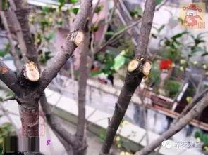 剪红花步骤-三角梅修剪方法   1哪些枝条需要修剪?   直立枝:树冠中直立向上生长...