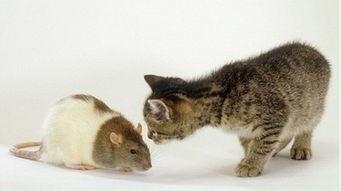 猫寄生虫对我们的免疫系统造成怎样的影响