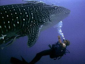 在66英尺深的海底与一条凶猛的鲸鲨戏耍.沃尔曼所在的地方是位于肯...