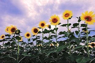 迷你世界向阳花如何种植