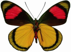 最 最美的8大蝴蝶   亚历山大女皇鸟翼凤蝶_百度 ...   光子亚历山大蝶后...