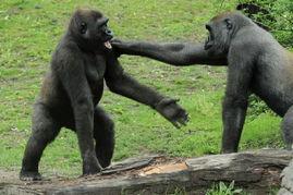 博狗bf88-大猩猩究竟有多凶猛呢?据英国《镜报》5月21日报道,日前,美国纽...