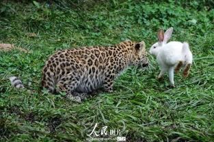 kigurumi神木林兔子-(原标题:高清:青岛动物园幼年狮虎豹被大白兔惊呆了)