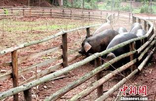 金麟香修-据了解,2013年,周付全和他的5个朋友共同投资,流转了3000亩山地...