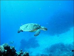 它们结出的耐盐果实可以在水上漂... 海鸥喜欢吃龙葵属的浆果,把其种...