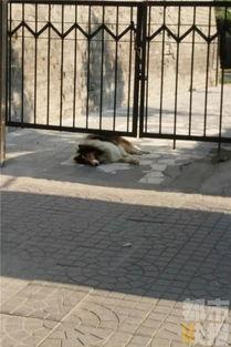 ...成功将狗制服.很多附近的市民都表示,这只牧羊犬从外观上来看,...