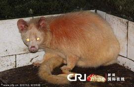 似狐非狐 似猫非猫 奇异动物眼珠能变三种颜色 图