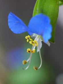 这是什么花 开蓝色的花,路边长的一丛一丛的