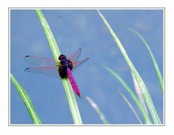 无忌图片论坛 红蜻蜓 -红蜻蜓