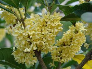 花与树影评-买三送一 花草树苗木 庭院植物 盆栽 绿化 桂花 四季桂花多个品种