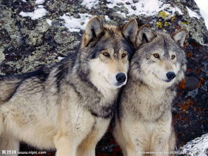 wolf狼-狼图片