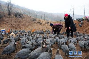 ...看确山县竹沟镇西王楼村一贫困户养的珍珠鸡.该贫困户充分利用荒...