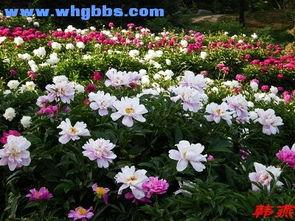 芍儿花-芍 药 园 万花谷花卉植物论坛