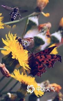 蝶间游龙-近日,津城在北风的吹拂下凉意尽显,秋意渐浓,图为彩蝶、蜜蜂在金...