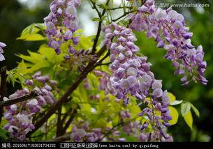 紫槐树的眼泪-紫槐