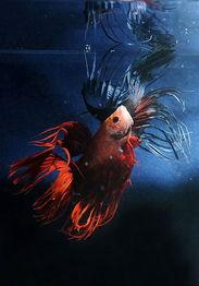 卡尔文与九色仙藻-金丝鱼的雌雄鉴别与繁殖   金丝鱼的雌雄一般可从下列特征来区别:雄...