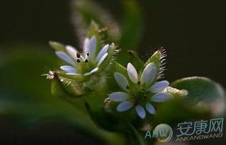 4月15日生日花语 繁缕花